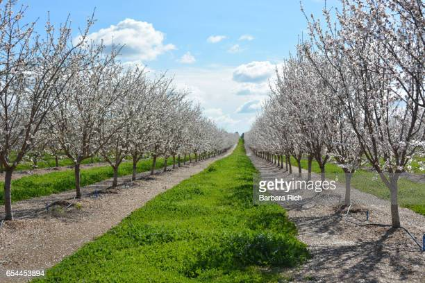 rows of california almond trees in bloom with parallels of spring green orchard grass - almond orchard stock photos and pictures