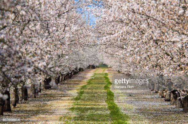 Rows of California almond trees in full bloom with petals covering the orchard floor