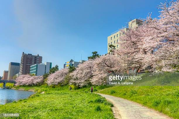 Rows of Cherry Blossoms along the Oto River