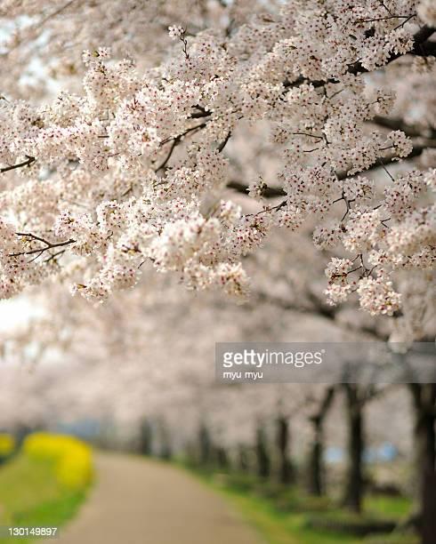 Rows of cherry trees