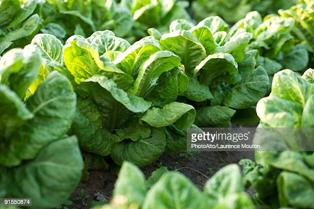 rows of chicory growing in vegetable garden - lettuce stock pictures, royalty-free photos & images