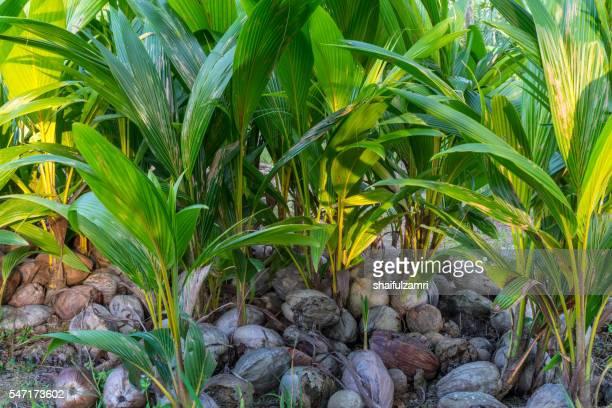 rows of coconut seedlings ready for planting - shaifulzamri 個照片及圖片檔