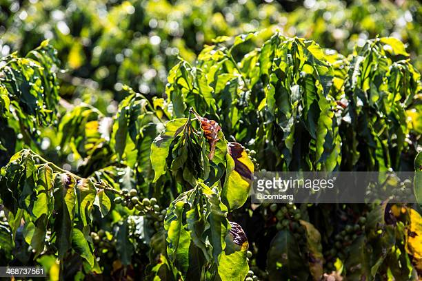 Rows of coffee plants, some with brown leaves caused by a recent drought, stand at the Tijuco Preto estate in the state of Minas Gerais near Serra...