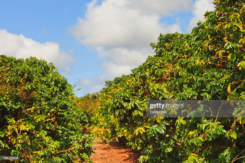 Rows of coffee trees on sunny day : Stock Photo