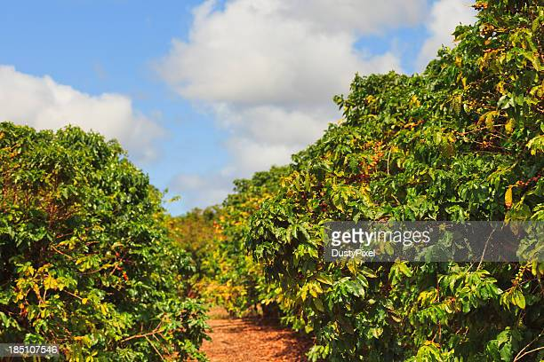 Rows of coffee trees on sunny day