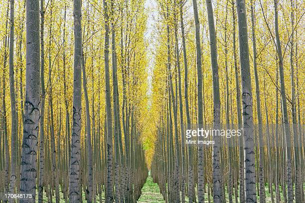 Rows of commercially grown poplar trees on a tree farm, near Pendleton, Oregon.