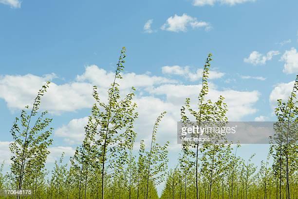 rows of commercially grown poplar trees on a tree farm, near pendleton, oregon. - laubbaum stock-fotos und bilder