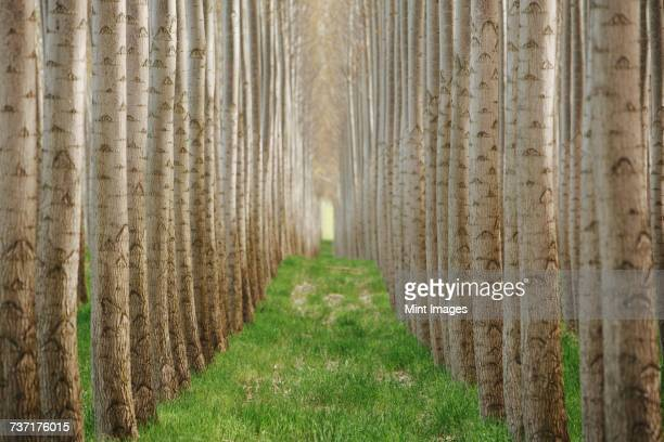 Rows of commercially grown poplar trees.
