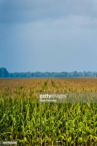 rows of corn growing in indiana - indiana fotografías e imágenes de stock