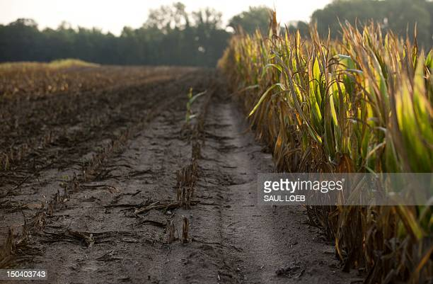 Rows of corn severely damaged by widespread drought is left standing for insurance adjusters to evaluate after the rest of the field was removed on a...