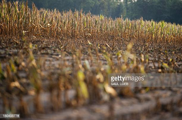 Rows of corn severely damaged by widespread drought is left standing for insurance adjusters to evaluate after the rest of the field was removedon a...