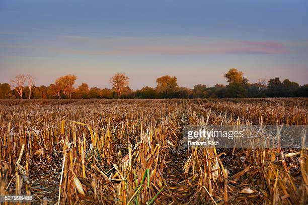 rows of corn stubble left in field after harvest - after stock photos and pictures