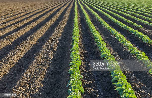 rows of crops and unplanted furrows - 休耕田 ストックフォトと画像