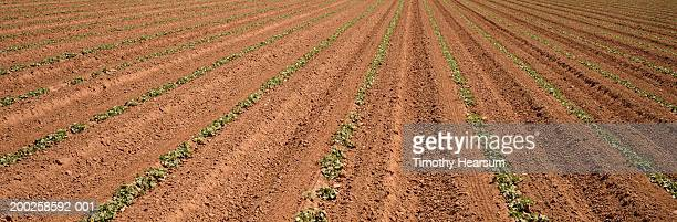 rows of cucumber plants, elevated view, spring - timothy hearsum foto e immagini stock