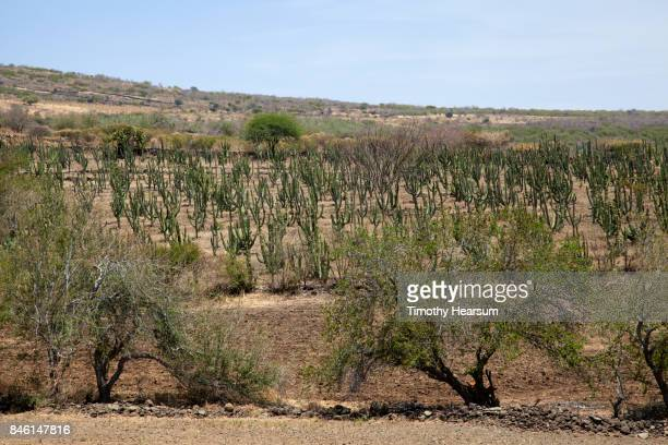 rows of cultivated tree cacti on a hillside with other desert plants - timothy hearsum imagens e fotografias de stock