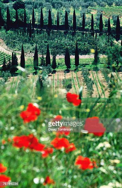 rows of cypress trees with poppies in foreground, castelnuovo dell'abate, near montalcino, tuscany, italy, europe - モンタルチーノ ストックフォトと画像