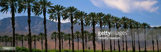 rows of date palm trees with mountains in background - timothy hearsum stock pictures, royalty-free photos & images