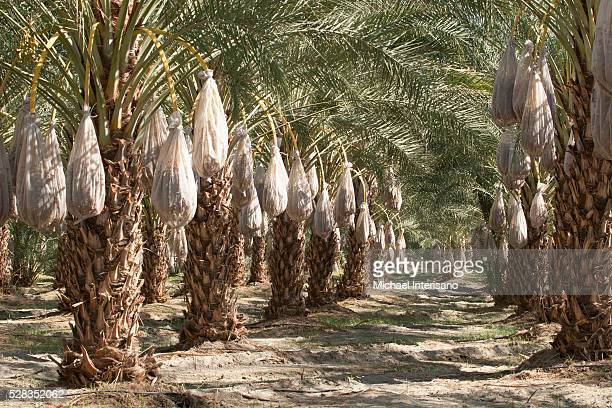 rows of date trees with covered sacks on date clusters; palm springs california united states of america - date palm tree stock pictures, royalty-free photos & images
