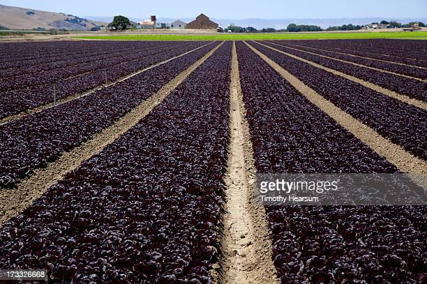 rows of deep red lettuce heads, farm beyond - timothy hearsum photos et images de collection