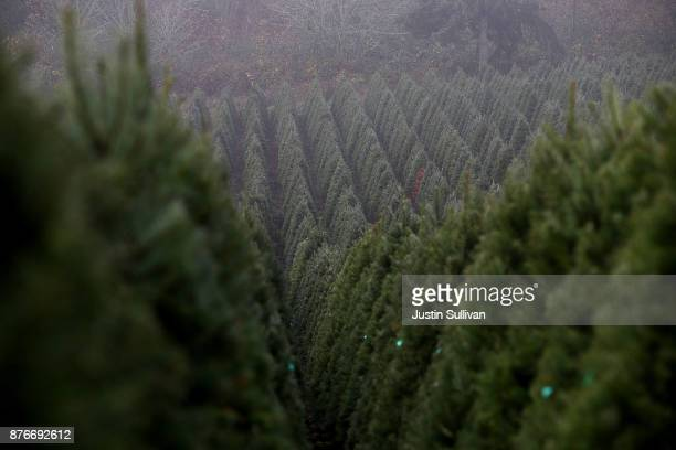 Rows of Douglas Fir Christmas trees stand in a field at the Holiday Tree Farms on November 18 2017 in Monroe Oregon The Christmas tree harvest is...