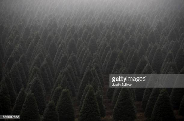Rows of Douglas Fir Christmas trees stand in a field on November 18 2017 in Monroe Oregon The Christmas tree harvest is underway at Holiday Tree...