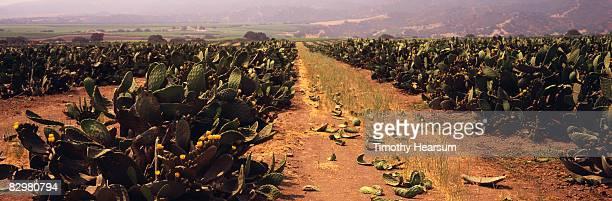 rows of edible cactus or nopales plants - timothy hearsum bildbanksfoton och bilder