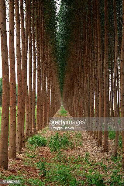 Rows of Eucalyptus, Sidrolândia, Brazil
