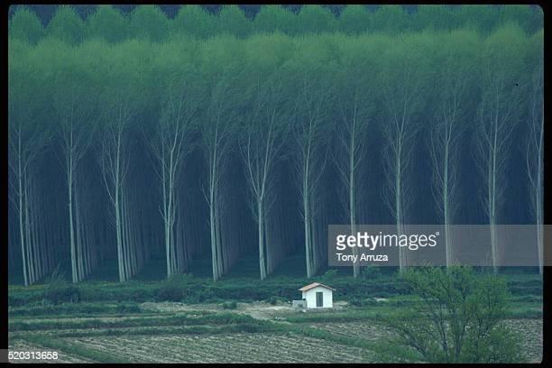 Rows of Eucalyptus Trees Growing Near Hut