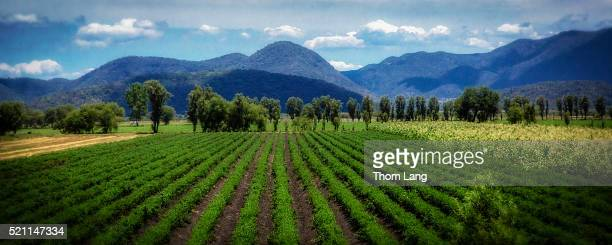 Rows of Farm Crops in Front of Mountains, Mexico