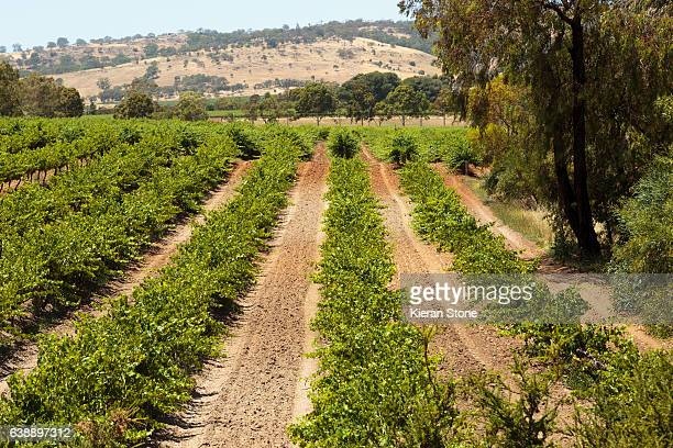 Rows of grape bushes