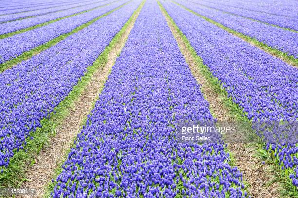 rows of grape hyacinths, the netherlands - muscari armeniacum stock pictures, royalty-free photos & images