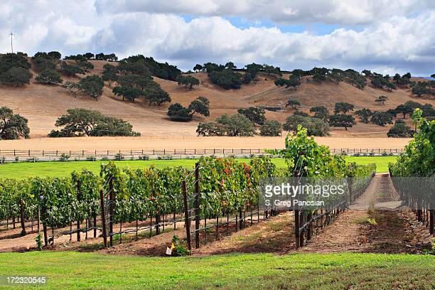 rows of grape vines at a vineyard in the countryside - santa barbara stock photos and pictures