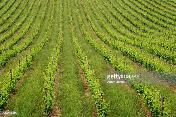 Rows of grape vines, close-up