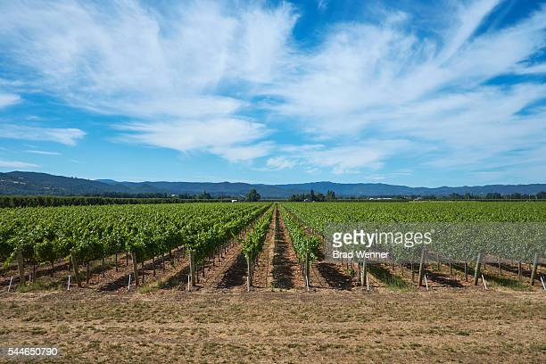 Rows of Grape Vines in Sonoma Vineyard