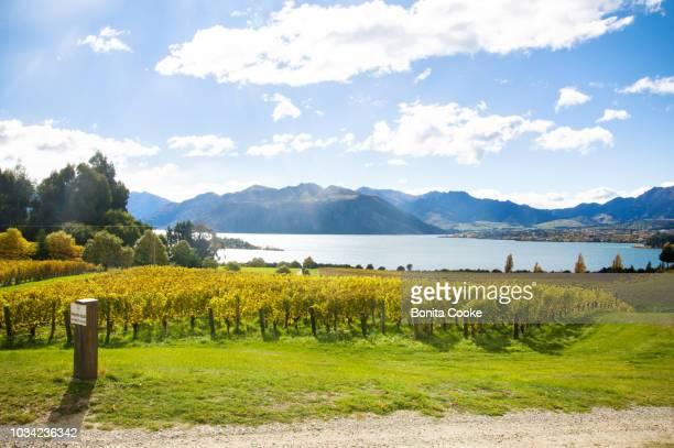 rows of grapevines in a vineyard, in autumn, lake wanaka - wanaka - fotografias e filmes do acervo
