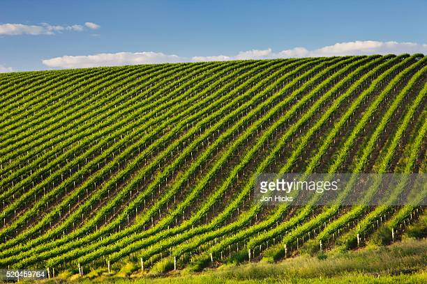 Rows of grapevines in the Barossa Valley