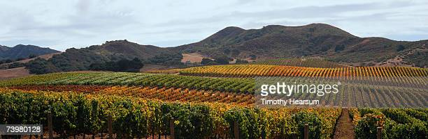 rows of grapevines slope up hillside toward mountains - timothy hearsum stock pictures, royalty-free photos & images