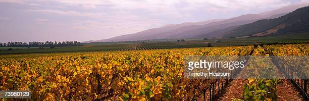 rows of grapevines with fall foliage mountains in background - timothy hearsum stock pictures, royalty-free photos & images