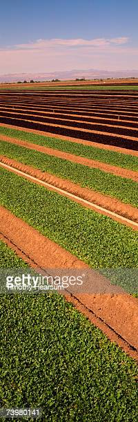 rows of green and red oak leaf lettuce, vertical shot - timothy hearsum stock pictures, royalty-free photos & images