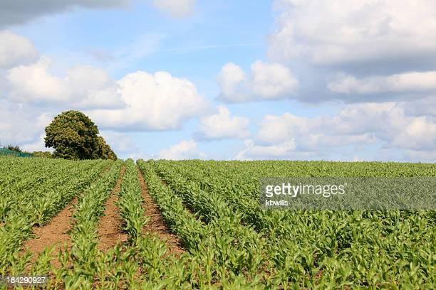 Rangées de maïs maïs en zone verte de plus en été Bretagne, france
