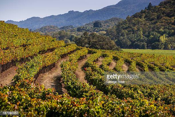Rows of hillside merlot and syrah are viewed at a Sonoma Valley vineyard on September 24 near Santa Rosa California The annual grape harvest is a...
