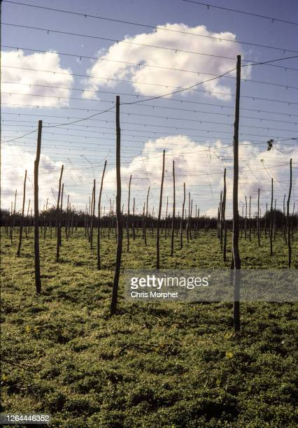 Rows of hop poles on a farm near Cranbrook in Kent, United Kingdom, September 1970.