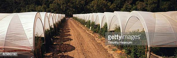 rows of hot houses filled with tomato plants - timothy hearsum stock pictures, royalty-free photos & images