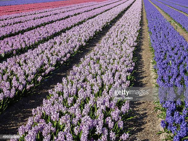 rows of hyacinths - frans sellies stockfoto's en -beelden