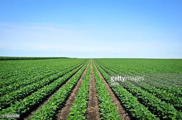 rows of iowa soybeans - soybean stock pictures, royalty-free photos & images