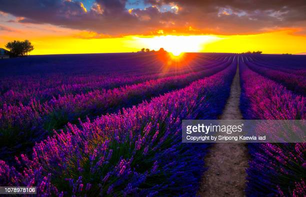 rows of lavender at sunset in valensole, france. - ヴァレンソール高原 ストックフォトと画像