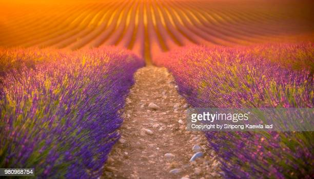 Rows of lavender at sunset in Valensole, France.