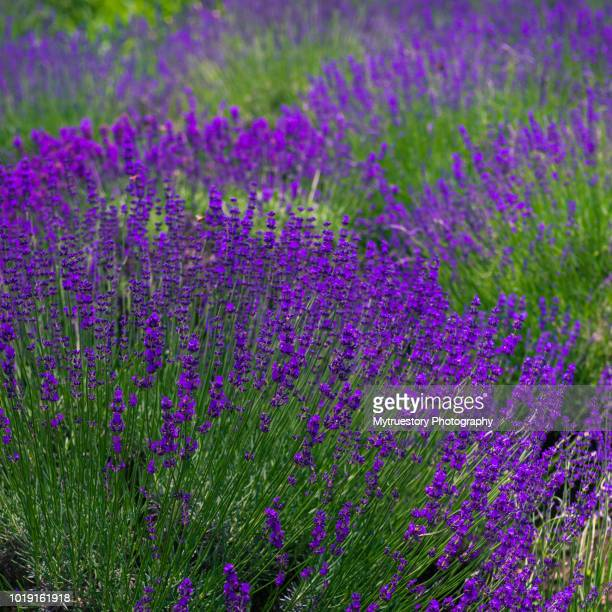 Rows of lavender crops in field
