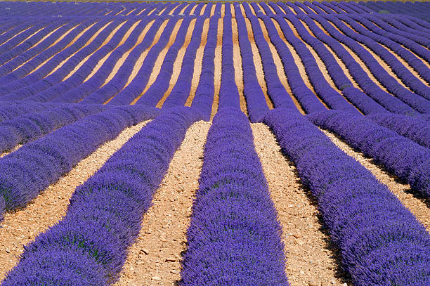 Rows of lavender field