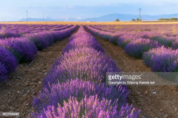 Rows of lavender flower in Valensole, Alpes-de-Haute-Provence, France.